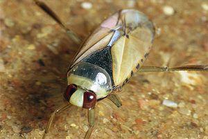 Odnyi bugs, kjer živijo