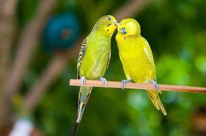 Kako hraniti valoviti papagaji