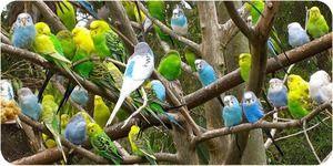Kako skrbeti za valovito papagaja