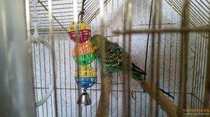 Življenjska doba valovite papige