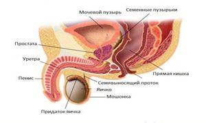 Vnetje žleze prostate pri moških: bolezni in zdravljenje