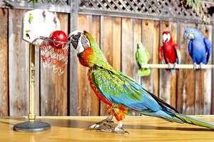Sposobnost papagaja za govor
