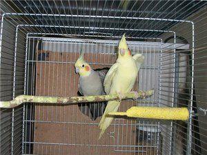 Papagaji s čopičem