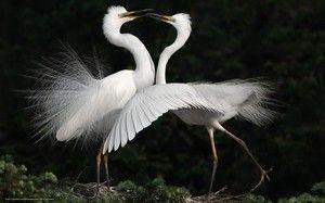 Vse o beli čaplji: kaj je ona, to ljubko ptico?
