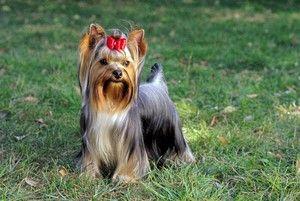 Vse o Yorkshire Terriers: opis, narava, vsebina in skrb