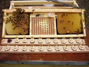 Kraljice čebele