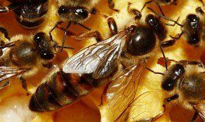 Kako umakniti kraljico čebele