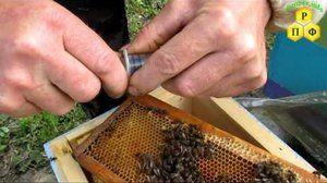 Kako zasaditi čebeljo čebelo