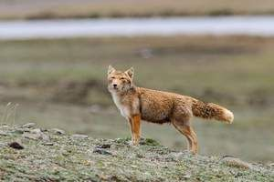 Skrivnostni in neverjetni plenilec - tibetanski lisica