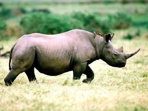 Zahodni črni nosorot in njen način življenja