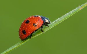 Buba: vrsta insektov, habitat, opis