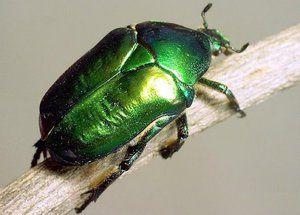 Buba bronzovka: lastnosti, ličinke in poškodbe zelenega hrošča