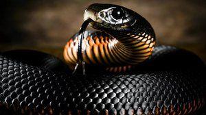 Kača črna mamba: življenjski slog in habitat