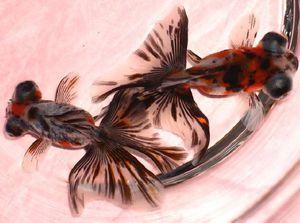 Fish Butterfly jikin